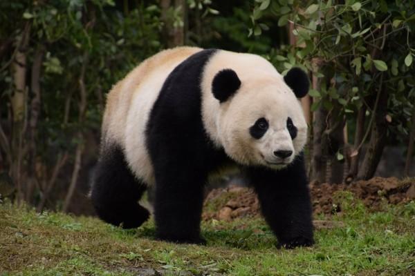 中國四川一隻熊貓被村民目擊「啃食山羊」。(路透)