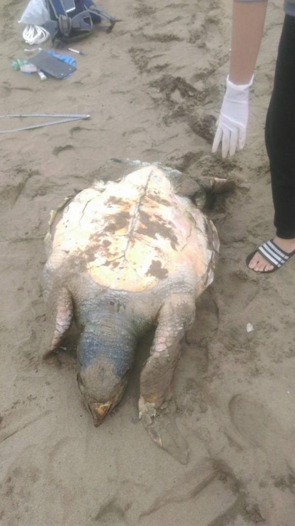 新北市動保處今天接獲通報,在萬里下寮沙灘發現死亡海龜擱淺。(動保處提供)