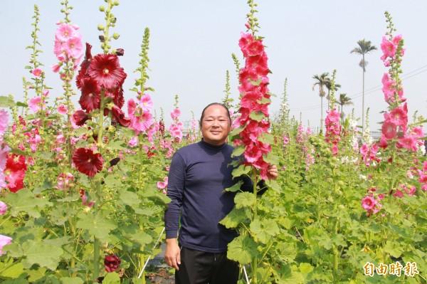 陶藝大師葉志誠也鑽研花藝,悉心照顧,種出又高又美的蜀葵花。(記者陳冠備攝)