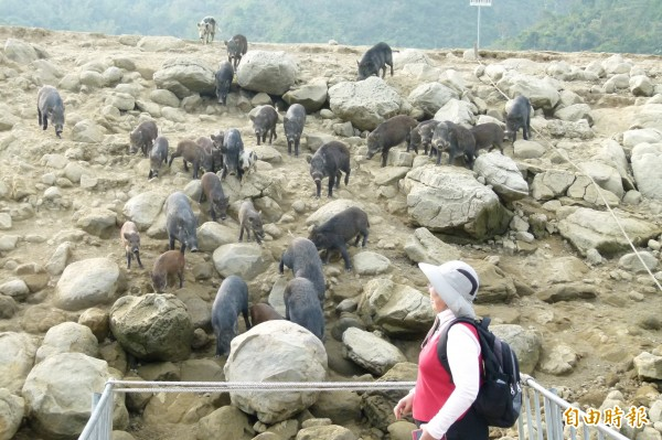 遊艇一靠近山豬島,山豬就會成群跑過來。(記者蔡宗勳攝)
