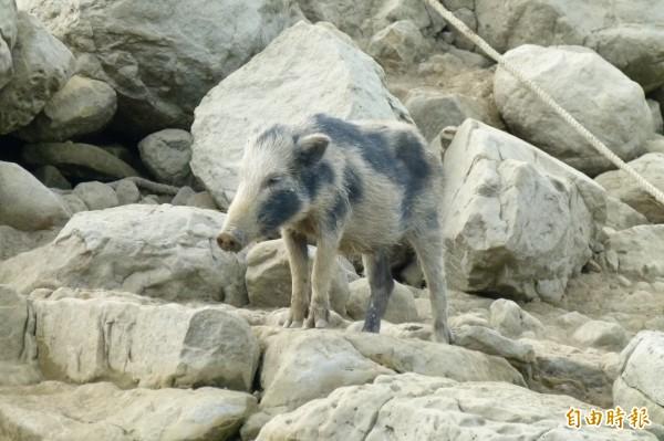 混種的花色山豬慘遭黑色山豬排斥。(記者蔡宗勳攝)