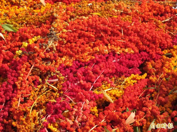 紅藜為原住民傳統作物,因種植及採收過程繁瑣,後來多以「白米」取代原有主食,如今因紅藜富含極高營養價值,在花蓮等地,已有農戶進行小面積栽種。 (記者王峻祺攝)