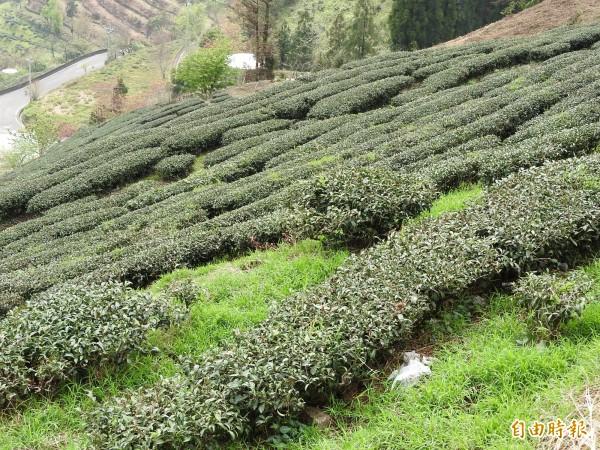 仁愛鄉高山春茶已經發芽,正值生長期,亟需春雨灌溉滋潤。(記者佟振國攝)
