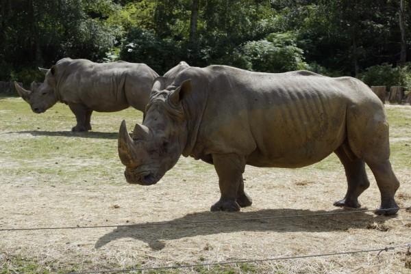 圖為Thoiry動物園在2002年展示的犀牛。(法新社)