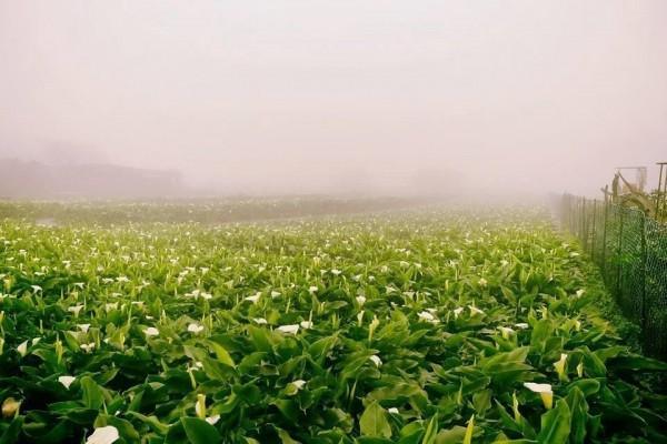 陽明山海芋季將於3月24日開跑。(台北市產業發展局提供)