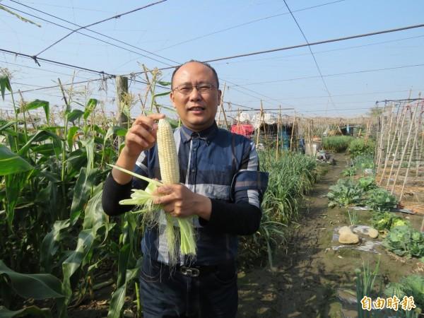 新農業玩家王又民又突破瓶頸,成功種出日本北海道牛奶玊米。(記者詹士弘攝)