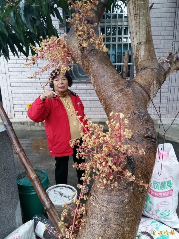 蓮鄉白河1株芒果樹樹幹開花,奇景引發鄰里議論,7旬嬤直說,呷到這麼多歲從沒見過。(記者王涵平攝)