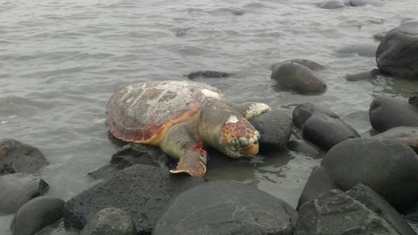 一隻瀕臨絕種的一級保育類赤蠵龜,被發現擱淺在彰化芳苑海濱上死亡。(記者陳冠備翻攝)