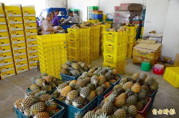 關廟鳳梨進入量產,區農會啟動外銷作業。(記者吳俊鋒攝)
