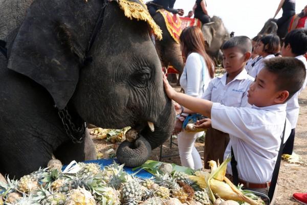 泰國古都大城今(13)日慶祝大象節,特別為60頭大象準備豐盛的水果自助餐,場面相當壯觀、有趣。(路透)