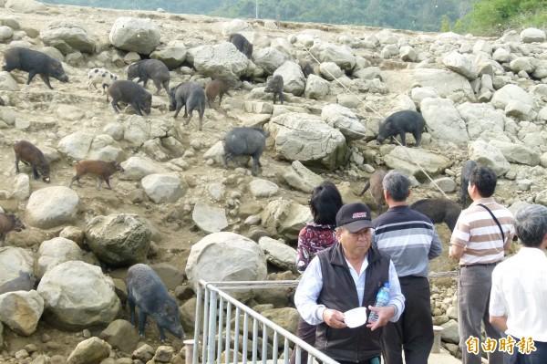 曾文水庫山豬島上的山豬不會懼怕人類,卻慘遭暗夜獵殺。(記者蔡宗勳攝)