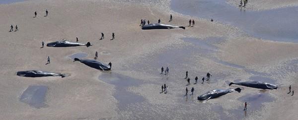 抹香鯨擱淺海灘。(圖擷取自朝日新聞)