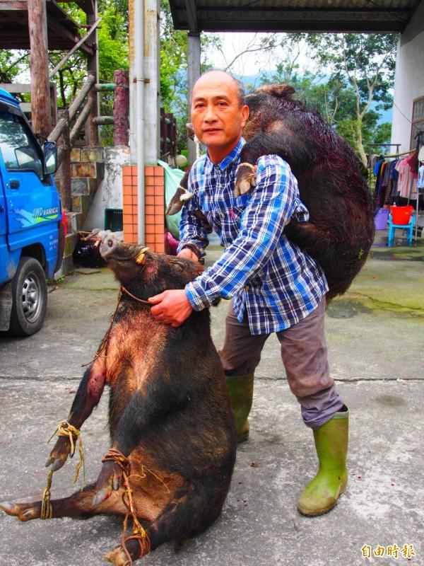 六十三歲的山豬王吉呀努今天成功捕獲兩頭成年公山豬。(記者王秀亭攝)