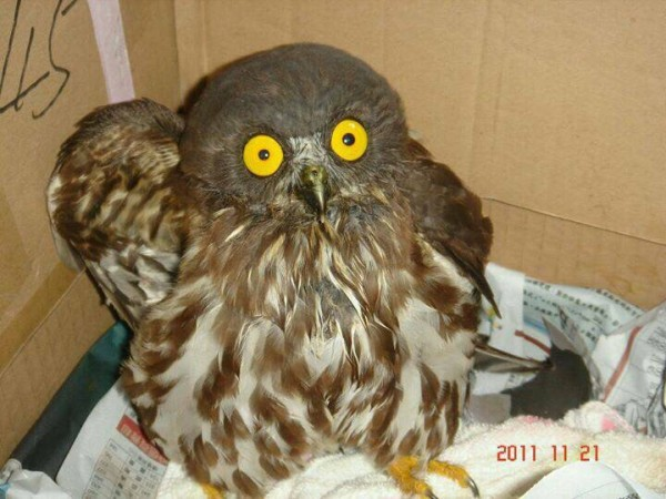 褐鷹鴞。(保七總隊石門後池小隊提供)