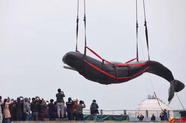 擱淺在中國大亞灣海域近3天的抹香鯨,在昨日凌晨死亡,今日專家進行解剖研究死因。(圖取自《香港文匯網》)