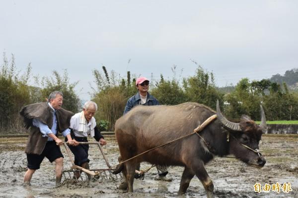 新竹縣長邱鏡淳(左起)、退休老里長曾國渠今天一起鞭牛犁田。(記者黃美珠攝)