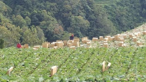 梨山高麗菜在農曆過年前已採收完畢,圖為之前收成時畫面。(民眾提供)