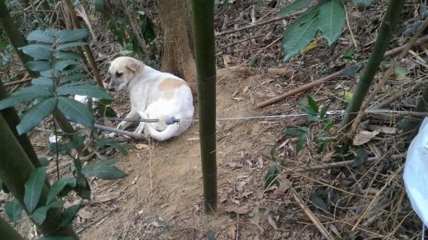 仁愛鄉山區又傳流浪狗誤觸鋼索陷阱,受傷的狗狗只能倒地待援。(圖由簡姓動保志工提供)