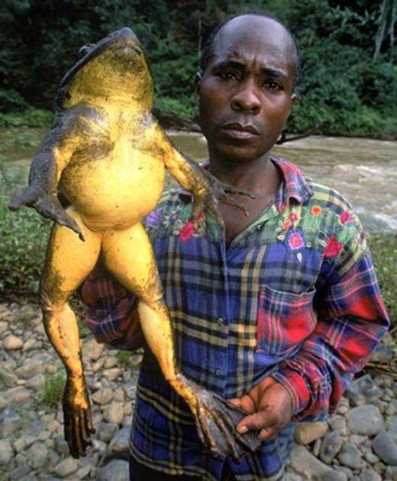 「非洲巨蛙」全身拉直可長達1公尺。(圖翻攝自《巴士的報》)