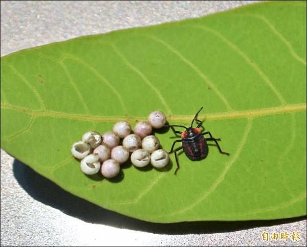 「荔枝椿象」的卵和剛孵出的若蟲(幼蟲)。 (記者陳建志攝)
