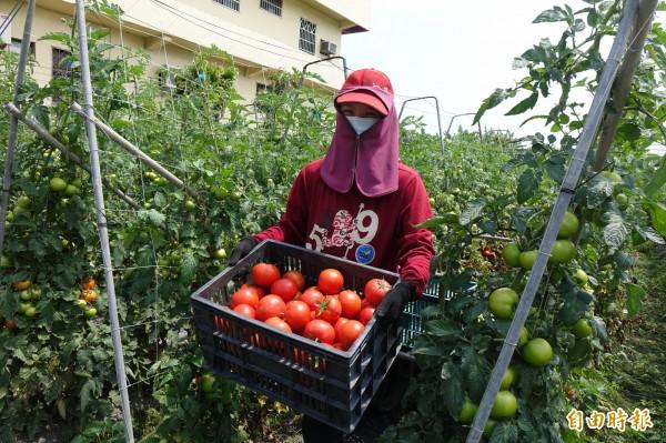 牛番茄進入盛產期,果農自力救濟,自產自銷。(記者劉曉欣攝)