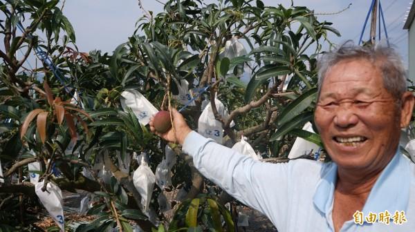 枋寮果農余太郎閃過風災的早生芒果出產。(記者陳彥廷攝)