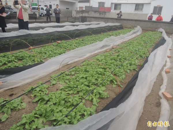 冰花種植在澎湖大力推廣,將進一步研發生物科技提高農民收益。(記者劉禹慶攝)