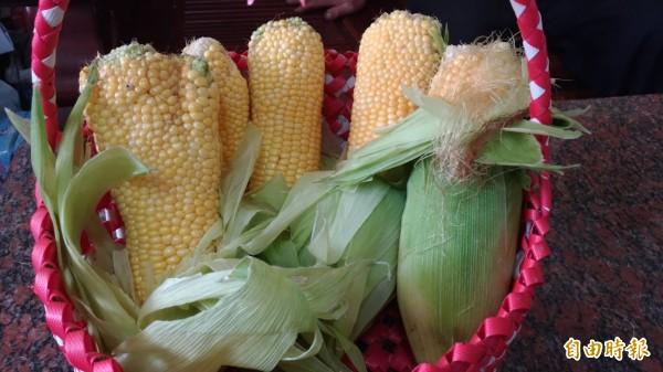 彭樹杉種出的怪怪玉米。(記者廖淑玲攝)