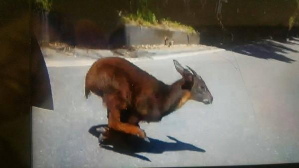 重機撞擊長鬃山羊前,被騎士行車紀錄器拍下其在公路上奔跑身影。(圖由關山分局提供)