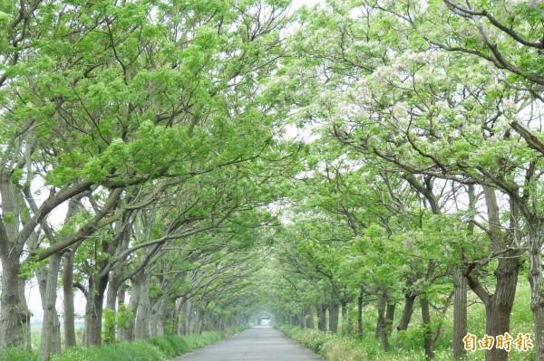 示意圖。圖為朴子溪南側防汛道路上的苦楝樹綠色隧道。(資料照,記者蔡宗勳攝)