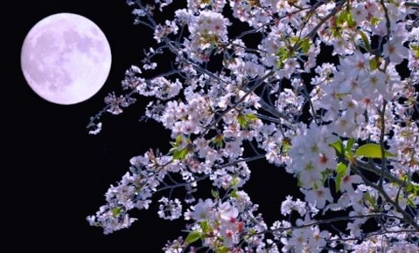 日本每年在櫻花盛開、又適逢滿月的時節,夜空中的月亮就可能會呈現粉紅色。(圖擷自推特)
