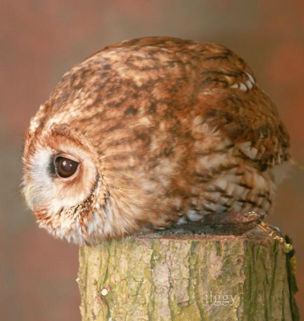這貓頭鷹也太可愛了吧~看了讓小編超想養一隻的