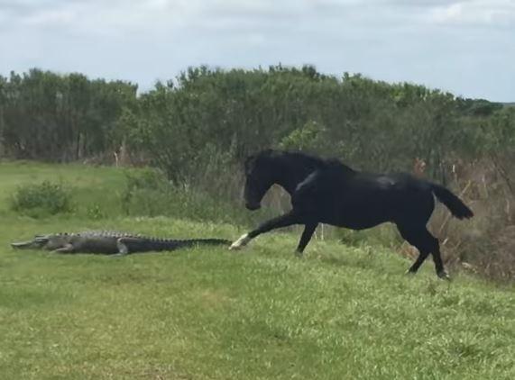美國佛羅里達州日前有頭黑馬突然暴踩1尾短吻鱷,驚險過程全被遊客直擊並拍了下來。(圖擷取自YouTube)