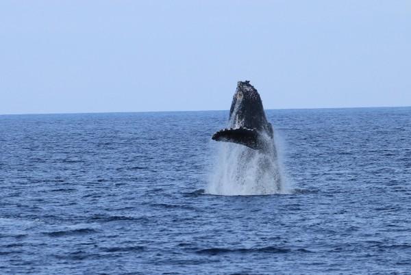 大翅鯨媽媽噴氣跳躍。(東管處提供)
