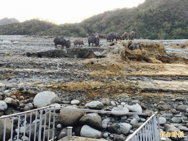 曾文水庫山豬島上數十隻斑紋花色豬仔,聽見觀光遊艇靠近的樂曲聲,會衝到岸邊與船上遊客索食、互動。(記者曾迺強攝)
