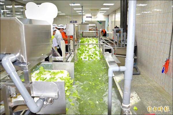 有機蔬菜只要驗出農藥殘留就會移請中央撤銷認證,不得再供應學校營養午餐。圖為有機蔬菜截切工廠,與新聞無關。(記者謝武雄攝)