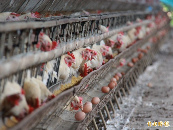 食藥處檢出彰化蛋雞場產蛋戴奧辛含量超高。示意圖,非事發蛋雞場。(資料照,記者陳冠備攝)