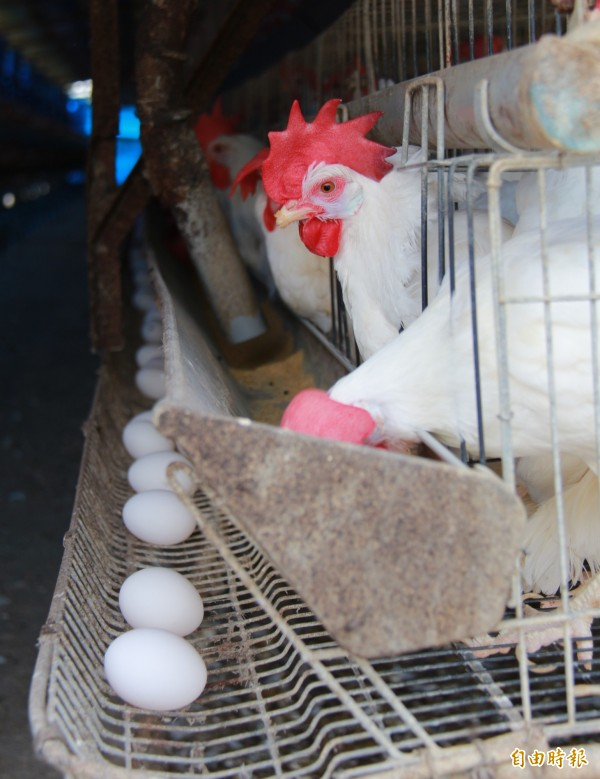 受戴奧辛風波影響,彰化雞蛋銷量略降1成,雞農擔心彰化雞蛋被貼標籤,感到無奈。(記者陳冠備攝)
