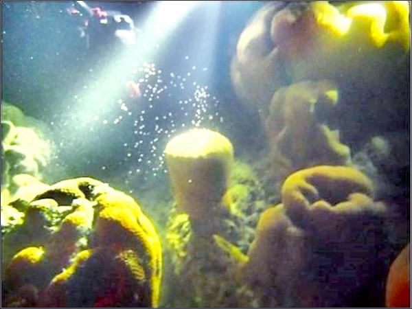 角星珊瑚產卵情形。(海管處提供)