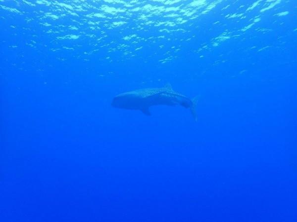在海面的波光下拍到野生鯨鯊,潛水員興奮不已。(記者蔡宗憲翻攝)