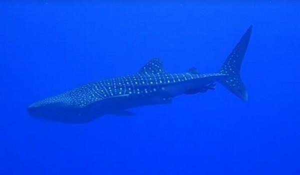 墾丁西半島喜見野生鯨鯊。(記者蔡宗憲翻攝)