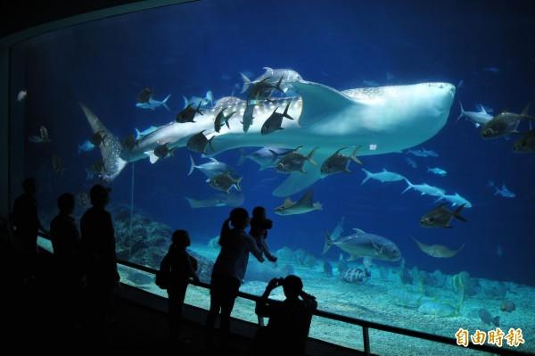 海生館曾豢養鯨鯊。(記者蔡宗憲攝)