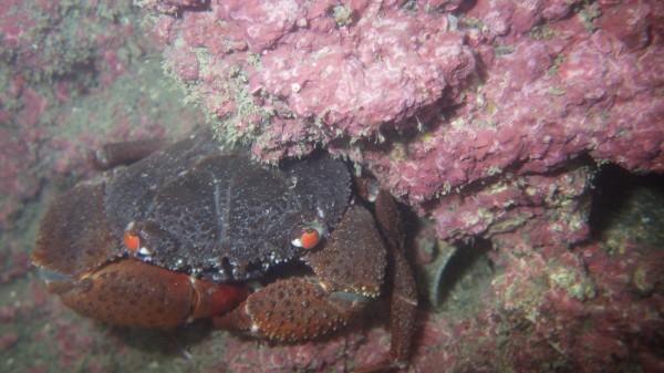藻礁發現殼狀珊瑚藻與酋婦蟹。(劉靜榆提供)