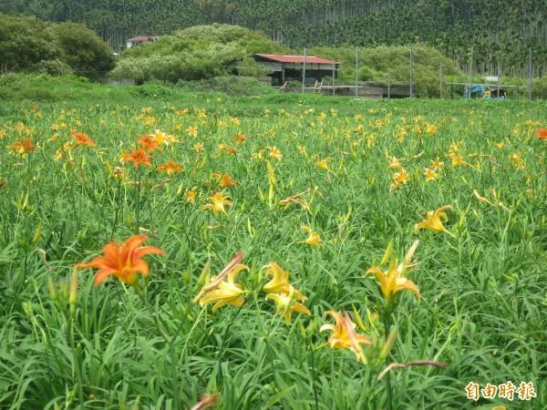 日月潭頭社金針花田5月就能開出花朵,預計再過10天就會滿開。(記者劉濱銓攝)