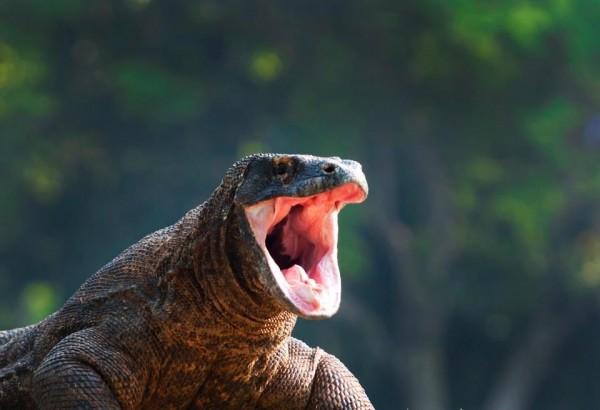 雖然科摩多龍看起來溫馴,兇起來還是很危險。(圖擷自太陽報)