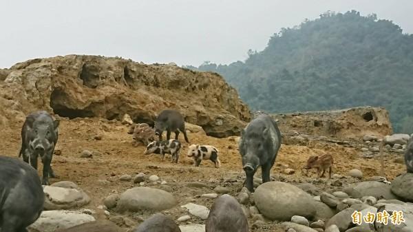 仔細瞧瞧,山豬種類還不少。(記者蔡宗勳攝)