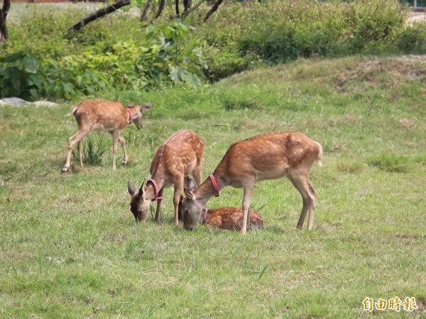 鹿港鎮公所將7隻梅花鹿移居至生態公園內的鹿園,優閒吃草。(記者湯世名攝)