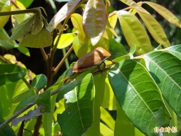 荔枝椿象今年在台中數量大幅增加,龍眼、荔枝樹上處處可見牠的蹤跡。(記者陳建志攝)