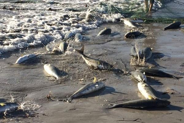這些野生鮭魚氾濫成災,已經威脅到龍蝦的生存,所以當地漁民賤價出售這些野生鮭作為龍蝦飼料。(圖擷自《ABC》)