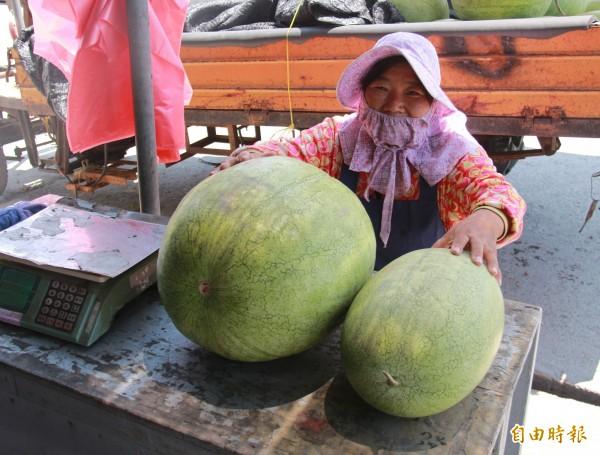 瓜農指出濁水溪產的西瓜比大城鄉內產的西瓜還要大上一倍,是目前最受消費者喜愛的西瓜。(記者陳冠備攝)